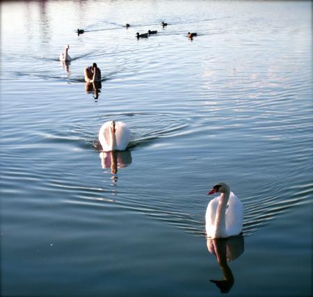 Swan_parade